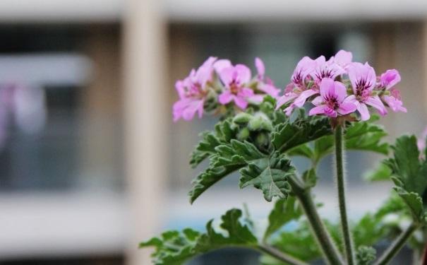 哪些植物能够驱蚊?房间蚊子多摆什么植物好?[图]