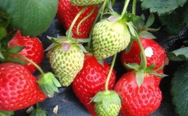 摘草莓是什么季节?什么时候摘草莓最好?[多图]