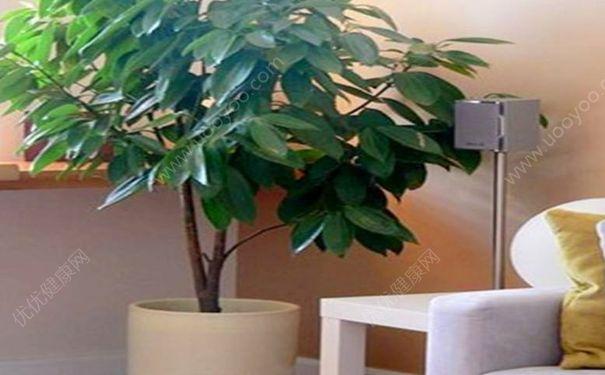 平安树能被雨水淋湿吗?雨水能浇发财树和平安树吗?[图]