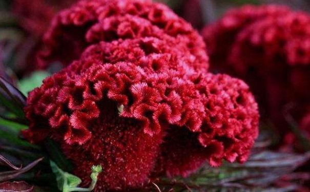 哪些鲜花可以治病?鲜花的药用价值有哪些?[图]