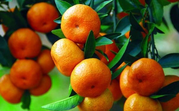 哪些食物不能与橘子同吃?不能与橘子同吃的食物[图]
