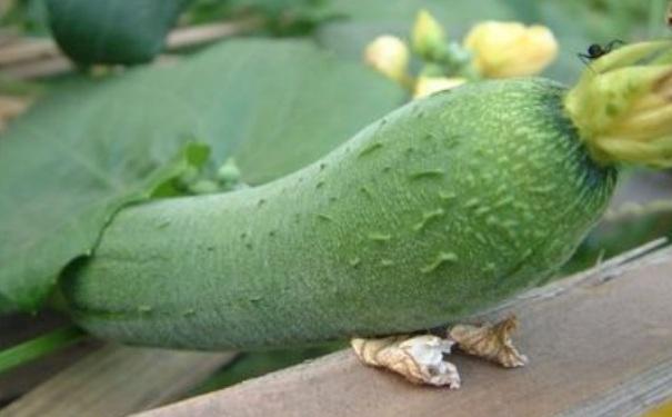 丝瓜可以放冰箱保鲜吗?丝瓜能放冰箱吗?[图]